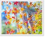 槭林步道楓光旖旎